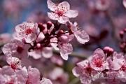 Spring plum blossoms